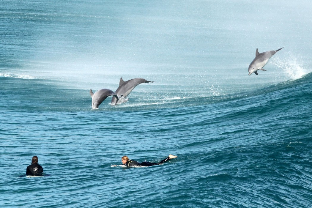 Dolphins play with surfers during migration Tamarama, Sydney, Australia