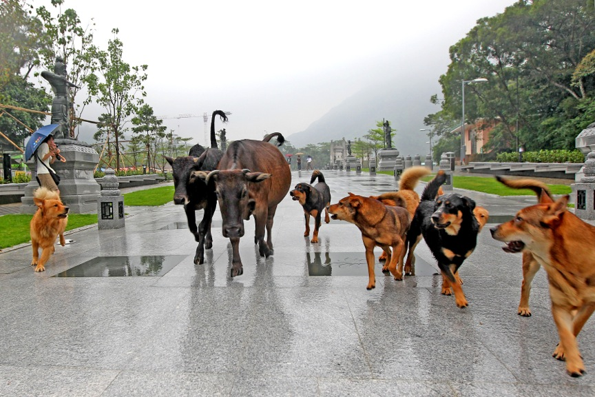 Dogs from Tian Tan Buddha keep the local Bulls is check, Lantau Island, Hong Kong