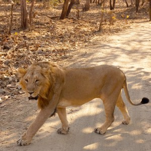 Male Asiatic Lion Gir Forest Gujarat India
