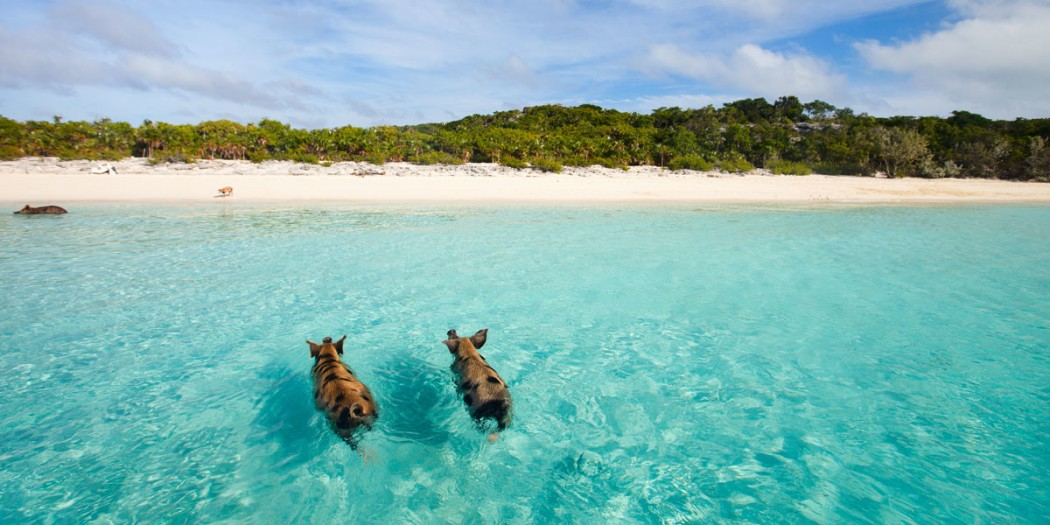 Swimming with wild pigs in the Bahamas