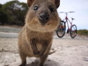 Quokka (basically a small rare kangaroo) on Rottnest Island, Australia