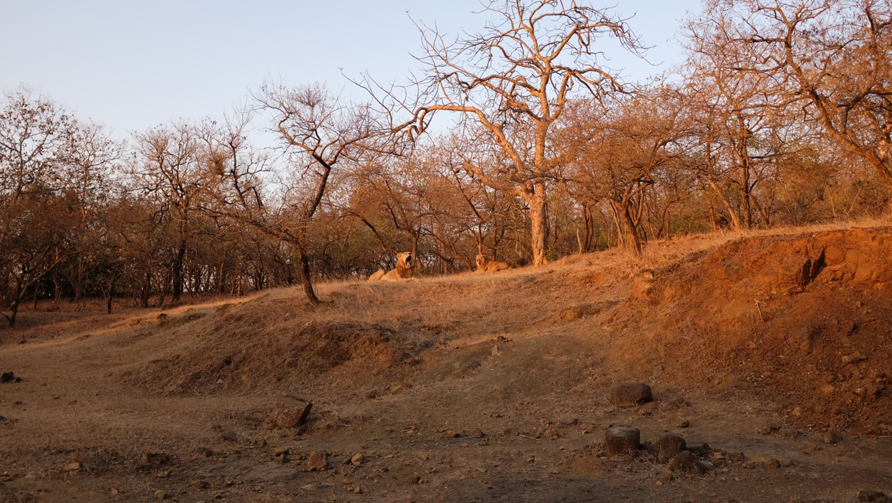 Asiatic Lions Gir Forest Gujarat