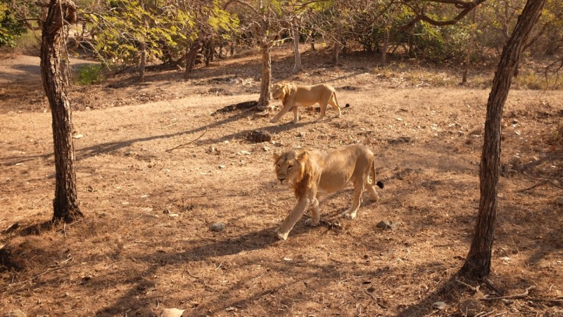 Asiatic Lions roam in Gir Forest Gujarat