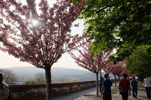 Cherry Blossoms Spring Budapest